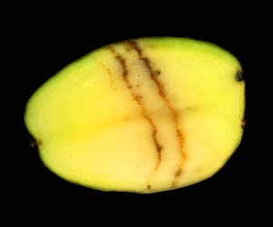 Spraing symptoms of Mop Top Virus (PMTV) in a Potato tuber section (Solanum tuberosum). - Nigel Cattlin
