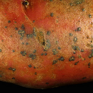 Skin Spot (Polyscytalum pustulans) lesions on the surface of a Red Potato tuber (Solanum tuberosum). Scotland, UK. - Nigel Cattlin