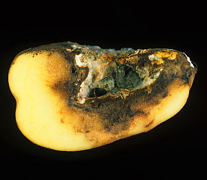Dry Rot (Fusarium sp) mycelium and cavity in a rotted Potato tuber (Solanum tuberosum). - Nigel Cattlin