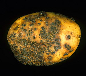 Powdery Scab (Spongospora subterranea) severe infection and lesions on a Potato tuber (Solanum tuberosum). - Nigel Cattlin