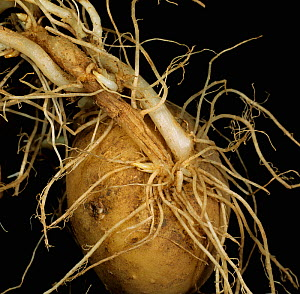 Symphylid (Scutigerella immaculata) damage to Potato stems, stolons, and roots (Solanum tuberosum). Scotland, UK.  -  Nigel Cattlin