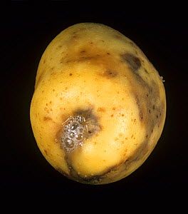 Ring Rot (Corynebacterium sepedonicum) on a Potato tuber stolon end damage (Solanum tuberosum). Maine, USA. - Nigel Cattlin