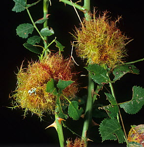 Robin's Pincushion Galls on Rose stems (Rosa sp) caused by the Bedeguar Gall Wasp (Diplolepsis rosae). England, UK. - Nigel Cattlin
