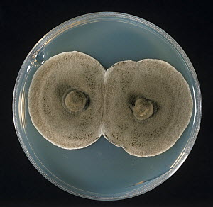 True Eyespot (Pseudocercosporella herpotrichoides) fungal culture on agar in a petri dish. - Nigel Cattlin