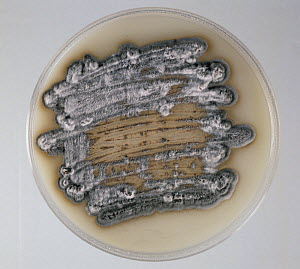 Septoria Leaf Spot (Septoria tritici) fungal culture on agar. - Nigel Cattlin