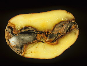 Gangrene seen in a sectioned Potato tuber (Solanum tuberosum) caused by a fungal pathogen (Phoma exigua). - Nigel Cattlin