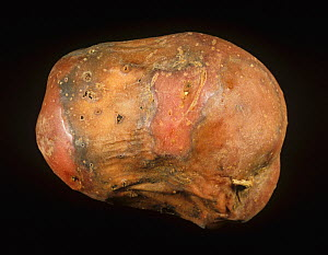 Bacterial Soft Rot (Erwinia carotovora) external symptoms on a diseased and rotted Potato tuber (Solanum tuberosum). - Nigel Cattlin