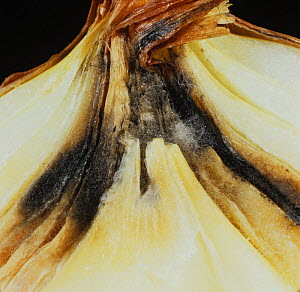 Neck Rot (Botrytis allii) infection in an Onion bulb. - Nigel Cattlin