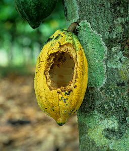 Rat or squirrel rodent damage to a cocoa pod (Theobroma cacao) on the bush, Malaysia  -  Nigel Cattlin