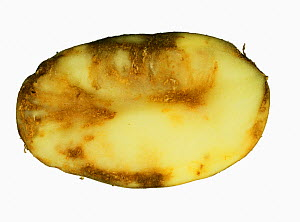 Potato Late Blight (Phytophthora infestans) flesh damage in a Potato section (Solanum tuberosum). - Nigel Cattlin