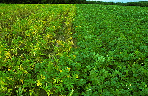 Golden Potato Cyst Nematode (Heterodera rostyochiensis) damage to an unprotected Potato (Solanum tuberosum) crop (left) next to a cultivated variety resistant to the pest (right).  -  Nigel Cattlin