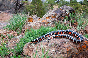Sonoran Mountain Kingsnake (Lampropeltis pyromelana) Arizona, USA.  -  Visuals Unlimited