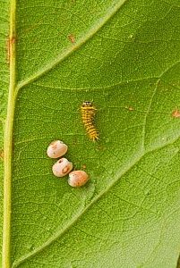 Silkmoth (Rothschildia hesperus) eggs and a newly hatched caterpillar. Ecuador.  -  Visuals Unlimited