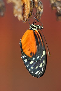 Butterfly (Heliconius hecale) emerging from its chrysalis.  -  Visuals Unlimited