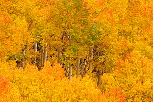 Aspens (Populus tremuloides) in their autumn glory. Western USA.  -  Visuals Unlimited