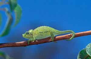 Jackson's Chameleon (Chamaeleo jacksonii) walking along a branch near Mt. Kenya NP, Kenya, Africa.  -  Visuals Unlimited