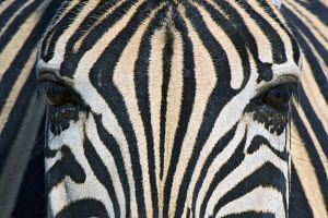 Close-up of Burchell's Zebra (Equus burchellii) eyes and facial stripe pattern, Etosha Pan National Park, Namibia, Africa. - Visuals Unlimited