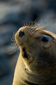 Galapagos Sealion (Zalophus califoranius wollebekii) South Plaza Island, Galapagos Islands. - Visuals Unlimited