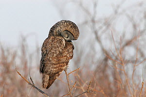 Great Grey Owl (Strix nebulosa) perched  -  Visuals Unlimited