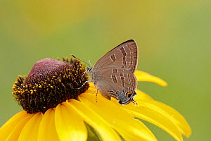 Edwards Haristreak butterfly (Satyrium edwardsii) feeding on a flower.  -  Visuals Unlimited
