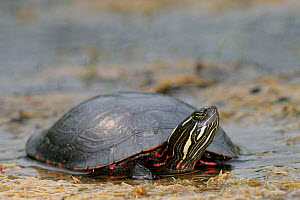 Painted turtle (Chrysemys picta) - Visuals Unlimited