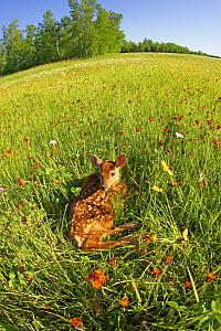 White-tailed Deer (Odocoileus virginianus) fawn at rest in a meadow, North America, USA  -  Visuals Unlimited