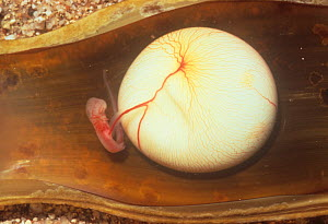 Swell Shark (Cephaloscyllium ventriosum) embryo, one month, in an opened egg case - Visuals Unlimited