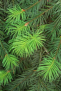 New spring growth on needles of the Douglas Fir (Pseudotsuga menziesii) Western USA. - Visuals Unlimited