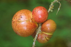 Oak Apple Gall caused by a Gall Wasp. - Visuals Unlimited