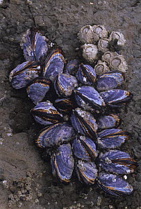 California Mussels (Mytilus californianus) growing on an intertidal rock at low tide, California, USA, Pacific Ocean. - Visuals Unlimited