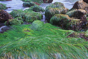 Scouler's surfgrass (Phyllospadix scouleri) a flowering plant in the intertidal marine environment, Pacific Coast, USA  -  Visuals Unlimited