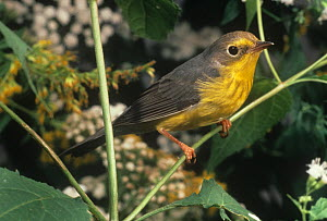 Canada Warbler (Cardellina canadensis) USA.  -  Visuals Unlimited