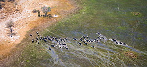 Aerial view of African elephants (Loxodonta africana)moving through wetland in the Okavango delta, Northern Botswana, taken on location for BBC Planet Earth series, October 2005 - Ben Osborne