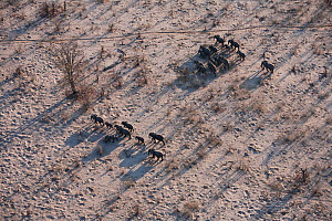 Aerial view of African elephant herd (Loxodonta africana) traveling through parched landscape during drought conditions, Northern Botswana.  Taken on location for BBC Planet Earth series, October 2005  -  Ben Osborne