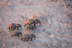 Aerial view of African elephant family (Loxodonta africana) traveling through parched landscape during drought conditions, Northern Botswana.  Taken on location for BBC Planet Earth series, October 20...  -  Ben Osborne