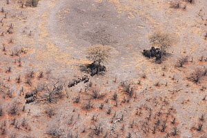 Aerial view of African elephants (Loxodonta africana) find shade under trees to avoid midday sun, during a drought. Northern Botswana.  Taken on location for BBC Planet Earth series, October 2005  -  Ben Osborne