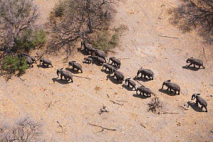 Aerial view of African elephants (Loxodonta africana) migrating through woodland in their search for food and water during a drought. Northern Botswana.  Taken on location for BBC Planet Earth series,...  -  Ben Osborne