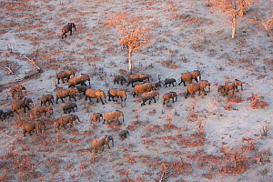 Aerial view of African elephants (Loxodonta africana) migrating across parched landscape in their search for food and water during a drought.   Linyanti, Northern Botswana.  Taken on location for BBC...  -  Ben Osborne