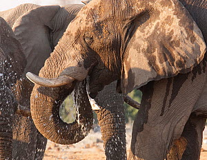 African elephant (Loxodonta africana) drinking at a waterhole in northern Botswana, taken on location for BBC Planet Earth series, 2005  -  Ben Osborne