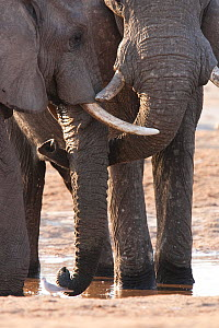 African elephants (Loxodonta africana) two touching trunks at a waterhole in northern Botswana, taken on location for BBC Planet Earth series, 2005  -  Ben Osborne