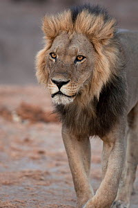 African lion (Panthera leo) big male lion walking portrait, Savuti, Botswana.  Taken on location for BBC Planet Earth series, 2005  -  Ben Osborne