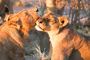 A young male African lion (Panthera leo) grooms a lioness, Savuti, Botswana.  Taken on location for BBC Planet Earth series 2005  -  Ben Osborne
