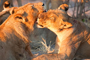 A young African lioness (Panthera leo) grooms a young male lion, Savuti, Botswana.  Taken on location for BBC Planet Earth series 2005  -  Ben Osborne