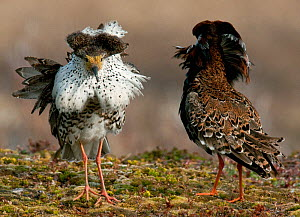 Two male Ruff (Philomachus pugnax) of different colour types competitively displaying at a lek in the background. Varanger, Norway, June.  -  Roger Powell