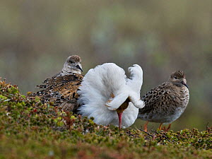 Displaying male Ruff (Philomachus pugnax) flanked by two admiring females ('Reeves'). Varanger, Norway, June.  -  Roger Powell