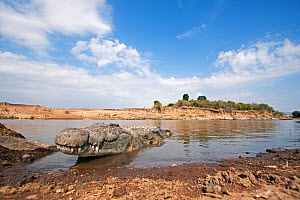 Nile crocodile (Crocodylus niloticus) emerging from the Mara River - wide angle perspective, Masai Mara National Reserve, Kenya. August 2009. - Anup Shah