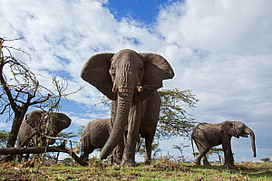African elephant (Loxodonta africana) herd feeding on trees - wide angle perspective, Masai Mara National Reserve, Kenya. August  -  Anup Shah