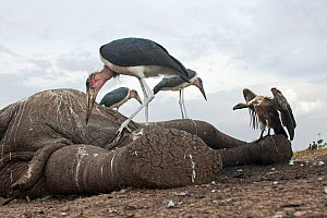 Marabou storks (Leptoptilos crumeniferus) and White-backed vulture (Gyps africanus) feeding on the carcass of an elephant - wide angle perspective. Masai Mara National Reserve, Kenya. September  -  Anup Shah