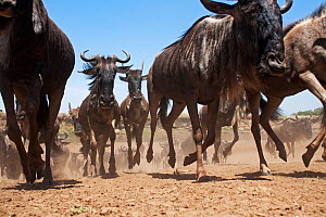 Eastern White-bearded Wildebeest (Connochaetes taurinus) herd running after crossing Mara river, wide angle perspective. Masai Mara National Reserve, Kenya. September - Anup Shah