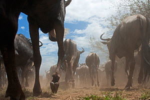 Eastern White-bearded Wildebeest (Connochaetes taurinus) herd running, rear view, wide angle perspective, Masai Mara National Reserve, Kenya. September  -  Anup Shah